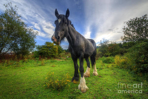 Shire Horse Art Print featuring the photograph Jeany by Yhun Suarez