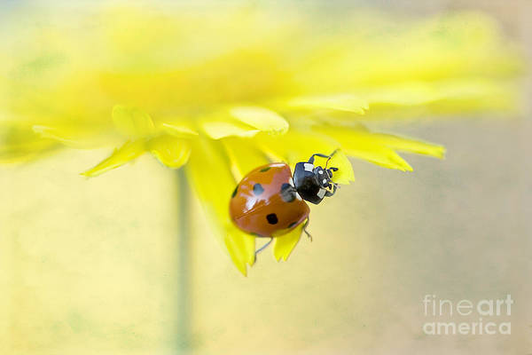 Ladybird Art Print featuring the photograph Lady In Yellow by Jacky Parker