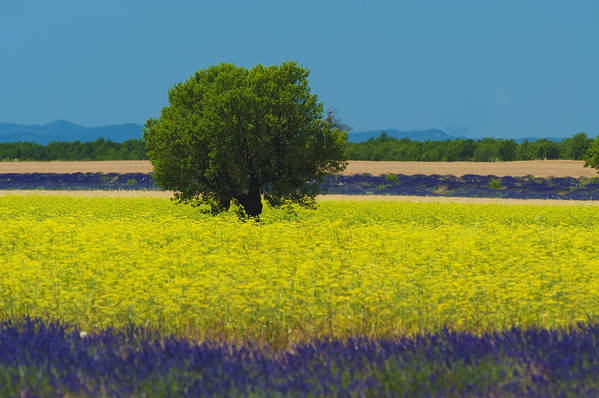 Horizontal Art Print featuring the photograph Lavender And Colza In Summer, Provence, France by Jean-Pierre Pieuchot