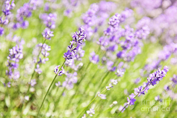Lavender Art Print featuring the photograph Lavender Blooming In A Garden by Elena Elisseeva