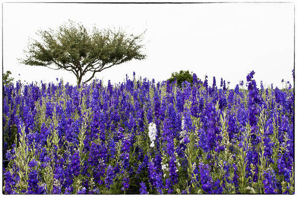 Lavender Art Print featuring the photograph Lavender Field by Lisa Spencer