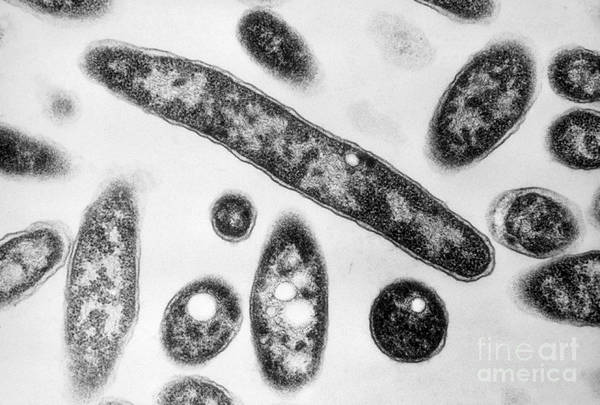 Science Print featuring the photograph Legionella Sp. Bacteria, Tem by Science Source