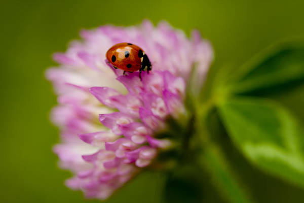 Coccinella Septempunctata Art Print featuring the photograph Lensbaby Ladybug On Pink Clover by Kathy Clark