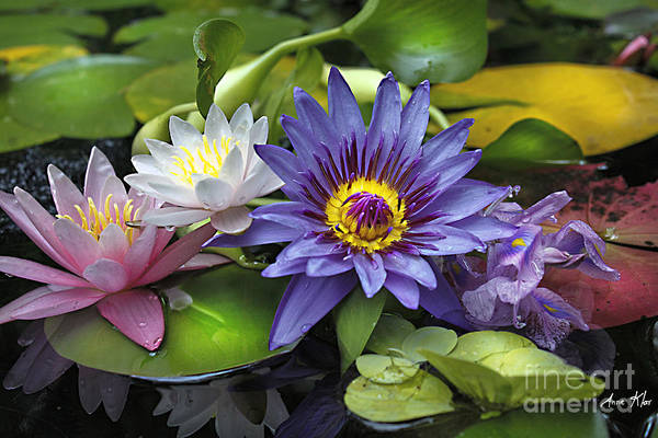 Waterlily Art Print featuring the photograph Lilies No. 16 by Anne Klar