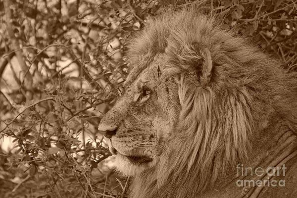 Lions Art Print featuring the photograph Lion Of Chobe by Mareko Marciniak