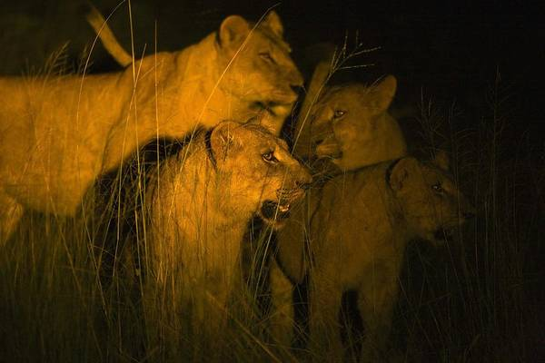 African Art Print featuring the photograph Lions At Night by Carson Ganci