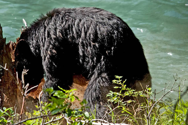 Bears Art Print featuring the photograph Log Buster by Eric Nelson