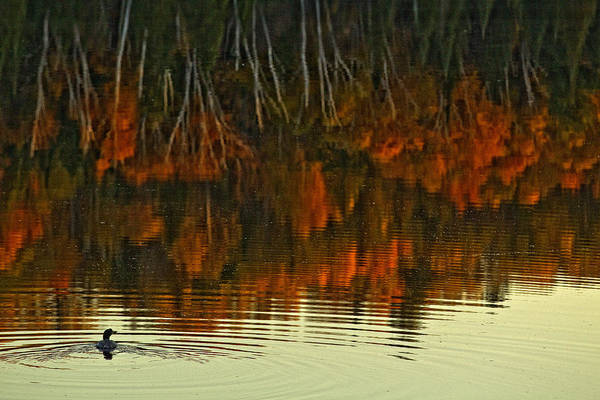 Light Art Print featuring the photograph Loon In Opeongo Lake With Reflection by Robert Postma