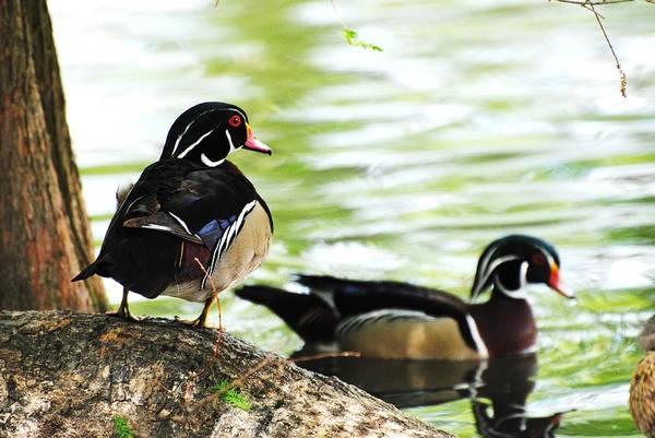 Wildlife Art Print featuring the photograph Male Wood Ducks by John Blanchard