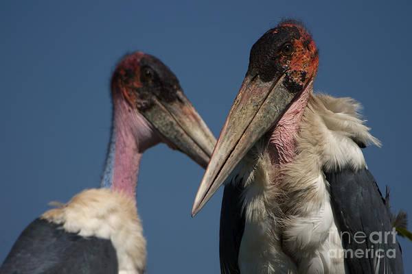 Marabou Stork Art Print featuring the photograph Marabou Storks by Mareko Marciniak