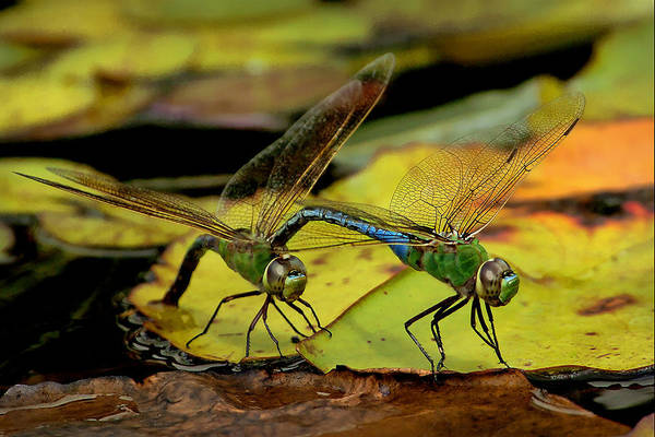 Dragonflies Art Print featuring the photograph Mating Dragonflies by Richard Fitzer