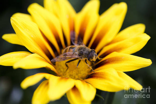 Bee Art Print featuring the photograph Meant To Bee by Casey DiDonato
