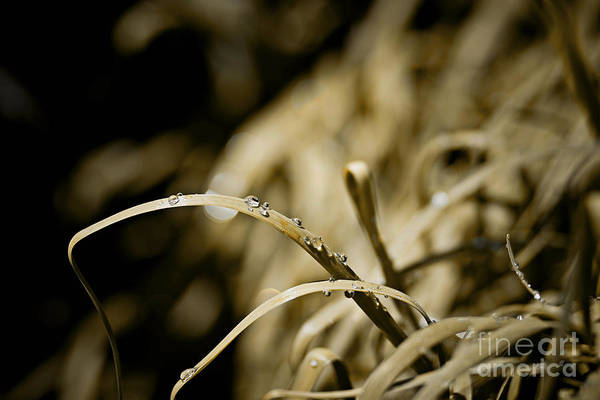 Grass Art Print featuring the photograph Monkey Grass Dewdew by Thomas Benzenhafer