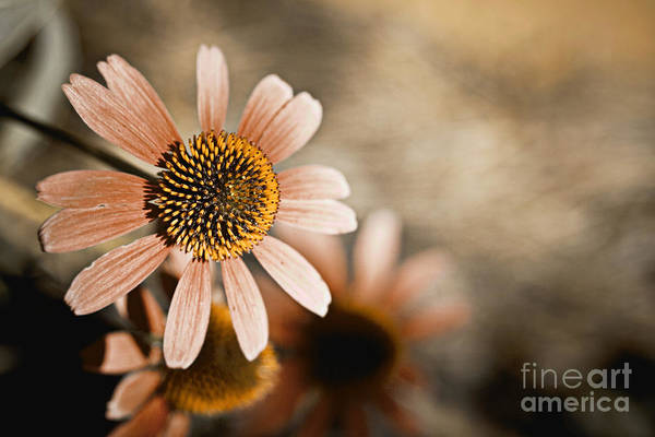 Pink Art Print featuring the pyrography Monotone Flower by Thomas Benzenhafer