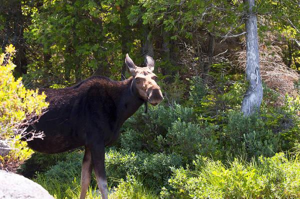 Moose Art Print featuring the photograph Moose Baxter State Park 4 by Glenn Gordon