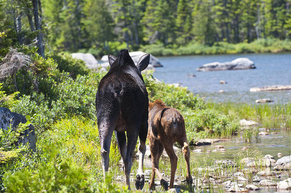 Moose Art Print featuring the photograph Moose Ends Baxter State Park Maine by Glenn Gordon