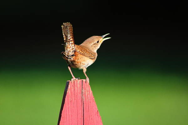 House Wren Art Print featuring the photograph Morning Song by Ruthie Lombardi