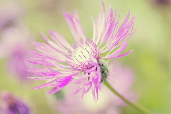 Horizontal Art Print featuring the photograph Mountain Cornflower Pink by Leentje photography by Helaine Weide