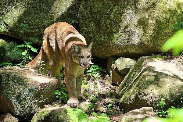 Mountain Lion Art Print featuring the photograph Mountain Lion by Wayne Toutaint
