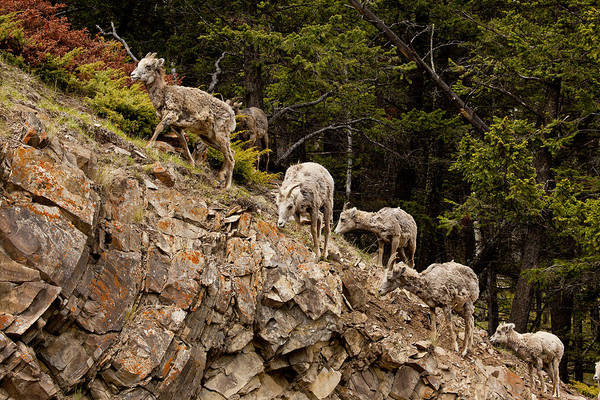 Canadian Rockies Art Print featuring the photograph Mountain Sheep 1668 by Larry Roberson
