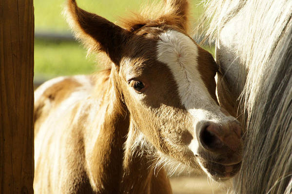 Foal Art Print featuring the photograph My Mama by Lisa Tate