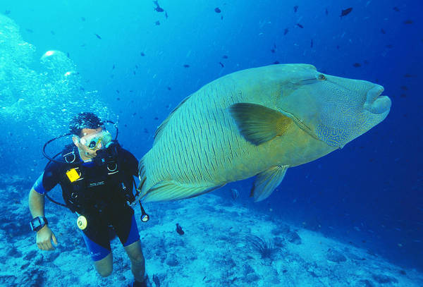 Wrasse Art Print featuring the photograph Napoleon Wrasse And Diver by Matthew Oldfield