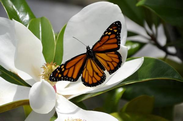 Monarch Art Print featuring the photograph New Life by Sandy Poore