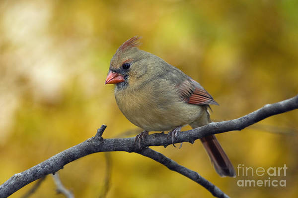 Female Print featuring the photograph Northern Cardinal Female - D007849-1 by Daniel Dempster