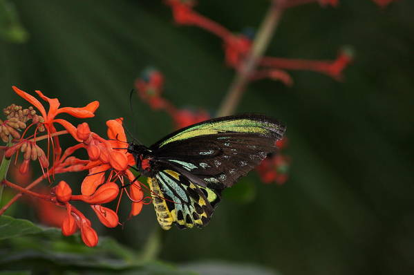 Butterfly Art Print featuring the photograph On The Edge by Anthony Intagliata