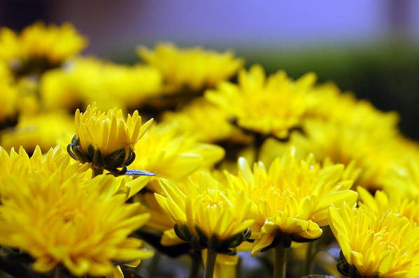 Flowers Art Print featuring the photograph One Of Many by Julian Garza