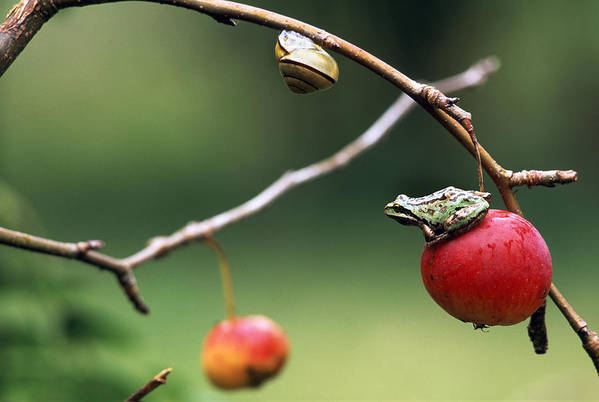 Color Images Art Print featuring the photograph Pacific Tree Frog On A Crab Apple by David Nunuk