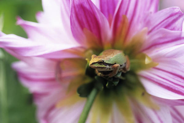 Pacific Treefrog Art Print featuring the photograph Pacific Treefrog On A Dahlia Flower by David Nunuk