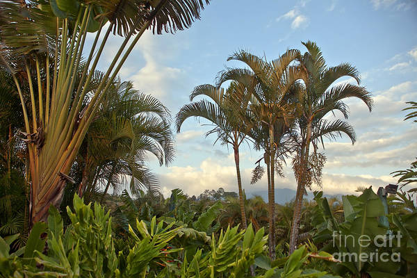 Palm Art Print featuring the photograph Palms In Costa Rica by Madeline Ellis