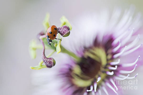 Coccinella Septempunctata Art Print featuring the photograph Passion Lady by Jacky Parker