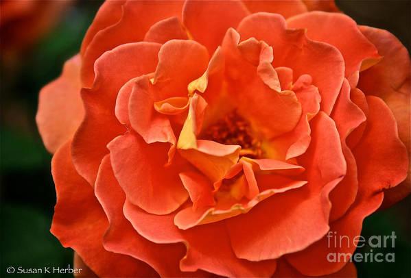 Garden Art Print featuring the photograph Peach Petals by Susan Herber