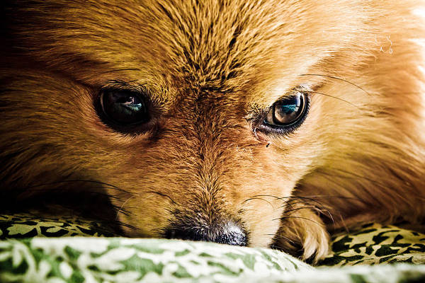 Dog Art Print featuring the photograph Pensive Pomeranian by Ben Porway