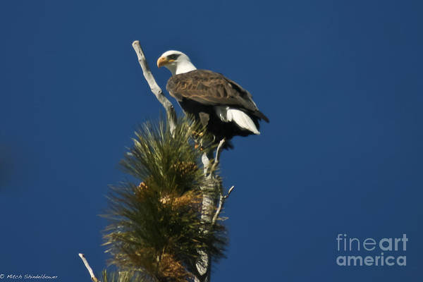 Bald Eagle Art Print featuring the photograph Perched by Mitch Shindelbower