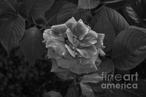 Rose Art Print featuring the photograph Perfect Rose by Catherine Conroy