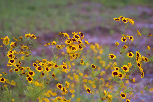Coreopsis Tinctoria Art Print featuring the photograph Perky Golden Coreopsis Wildflowers by Kathy Clark