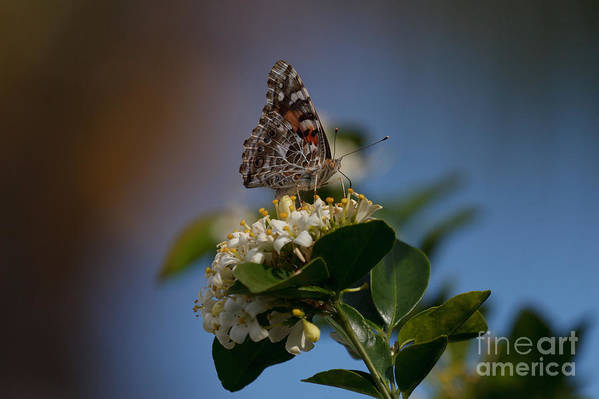 Bug Art Print featuring the photograph Phaon Crescent Butterfly by Bill Rogers