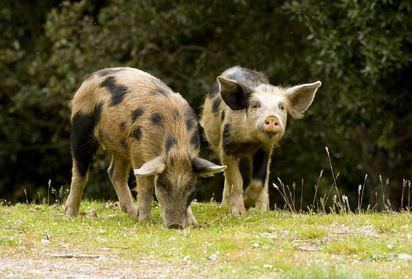 Piglets Art Print featuring the photograph Piglets Foraging In Woodland by Bob Gibbons