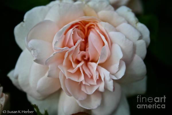 Garden Art Print featuring the photograph Pink Angel by Susan Herber