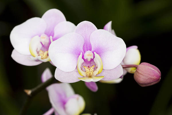 Orchid Art Print featuring the photograph Pink Orchid by Carrie Cranwill