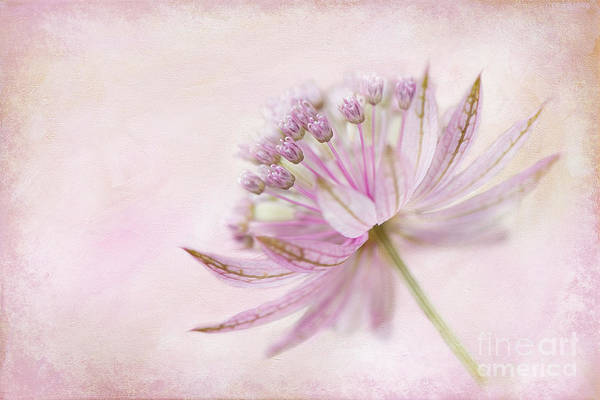 Astrantia Art Print featuring the photograph Pink Palette by Jacky Parker