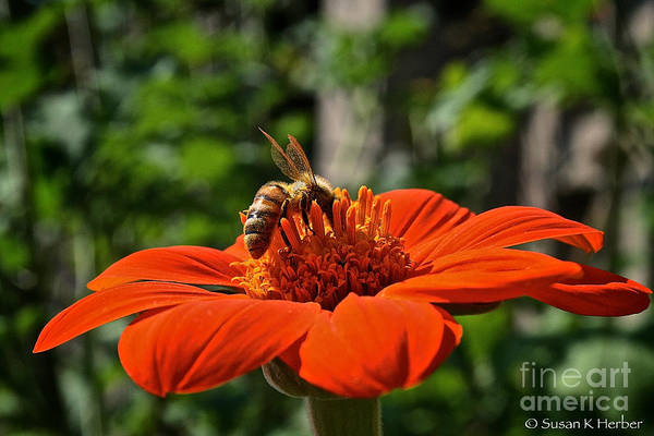 Outdoors Art Print featuring the photograph Pollenating by Susan Herber