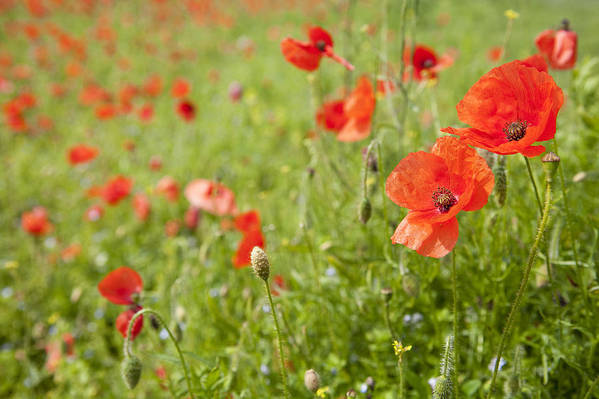 Horizontal Art Print featuring the photograph Poppies In A Field by James French