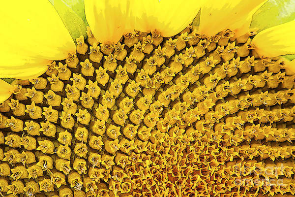 Beautiful Art Print featuring the photograph Posterized Sunflower Closeup by Gordon Wood