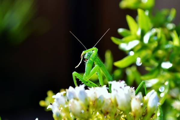Close Up; Green; Praying Mantis; Insect; Nature; Garden; Eyes; Flower; White; Plant; Leafs; Background; Decorative; Art Print featuring the photograph Praying Mantis by Werner Lehmann