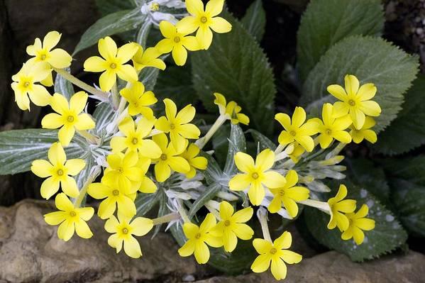 Primula Verticillata Art Print featuring the photograph Primula Verticillata Flowers by Bob Gibbons