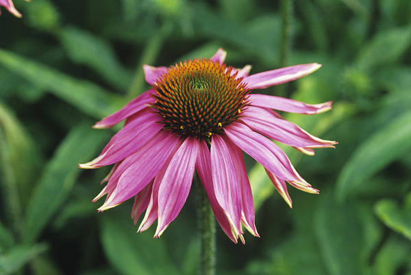 'kim's Knee High' Art Print featuring the photograph Purple Coneflower by Duncan Smith